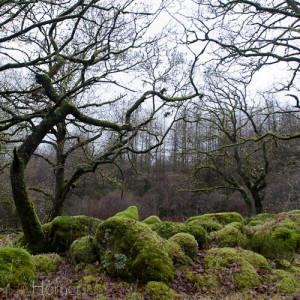 Enchanted woodland - twisted lichen adorned trees and moss covered boulders
